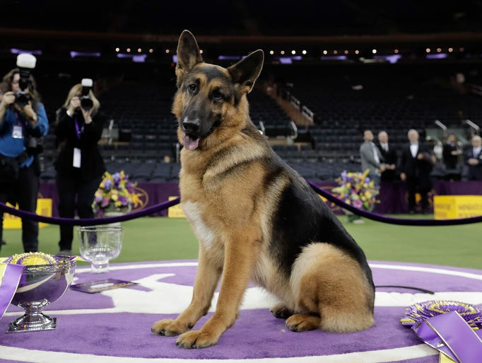 Rumor, a German shepherd, poses for photos after winning