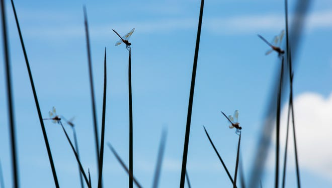Dragonflies rest on bulrush weeds.