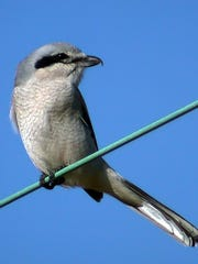 A northern shrike.
