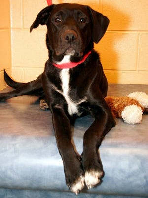 """This black Labrador retriever puppy is similar in appearance to """"Ponce,"""" a puppy beaten to death in Ponce Inlet earlier this year. The crime inspired a legislative proposal to crack down on animal abusers."""