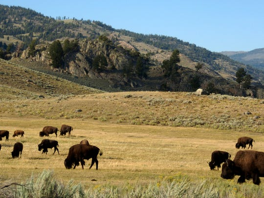 A bill before the Legislature would define the differences between wild and domesticated bison.