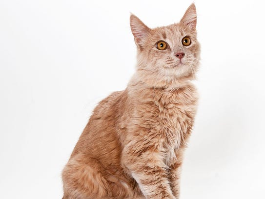 Otis, a 1-year-old male domestic longhair cat. No.