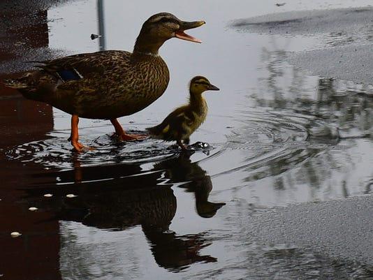 CPO-MWD-042816-ducks-rain