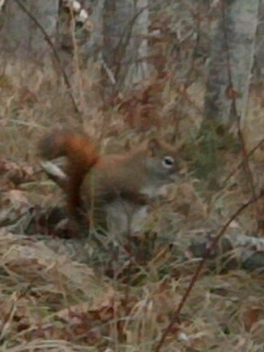02.01.15 - Red Squirrel.jpg