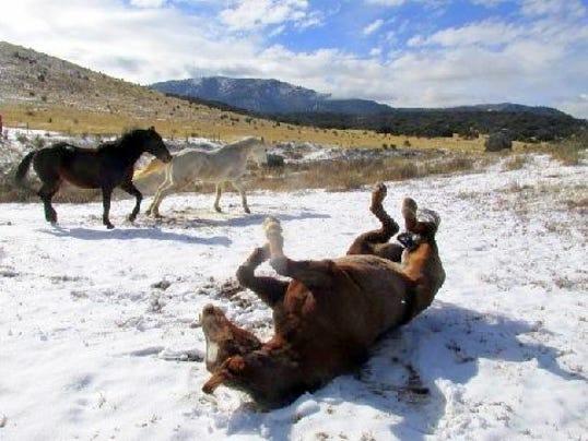 belle-rolling-in-snow