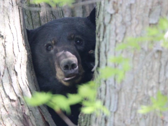 A dog treed a black bear in a Shippensburg area development on Monday afternoon, April 30, 2018.