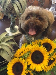 Walter is a happy guest checking out the sunflowers