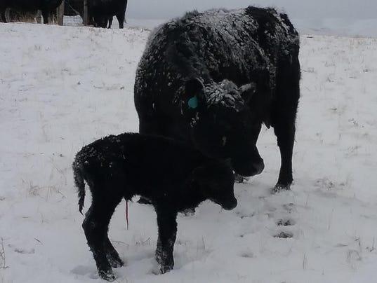 cold calf