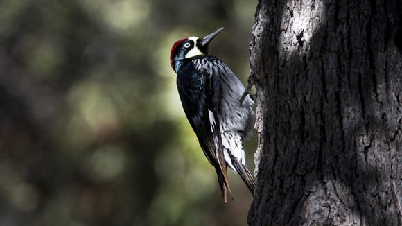 This acorn woodpecker was spotted at Cochise Stronghold near Willcox. Woodpeckers are made to pound away at trees. They have strong neck muscles, and their beaks help absorb impacts.
