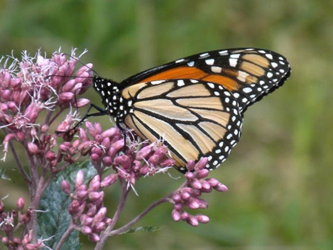 Milkweed plants are monarch butterflies' nursery, home