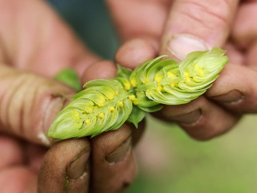 Top Hops Farm co-owner Sean Trowbridge shows the lupulin