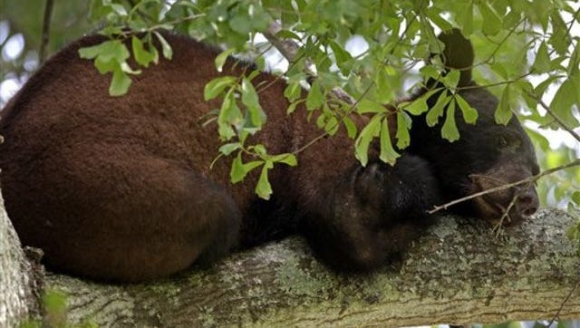 CORRECTS CITY TO MARKSVILLE, LA. INSTEAD OF NEW ORLEANS - A Louisiana black bear, a protected sub-species of the black bear, is seen from its perch in a water oak tree in Marksville, La., Sunday, May 17, 2015. The young bear's search for a new home has brought him into a central Louisiana neighborhood where he's spent the past week up one tree or another. The bear is among three to five that have wandered into populated parts of Louisiana in the past 10 days, said wildlife biologist Maria Davidson, head of the large carnivore program for the state Department of Wildlife and Fisheries. (AP Photo/Gerald Herbert)