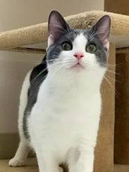 CV is a 5-month-old gray-and-white kitten who has energy