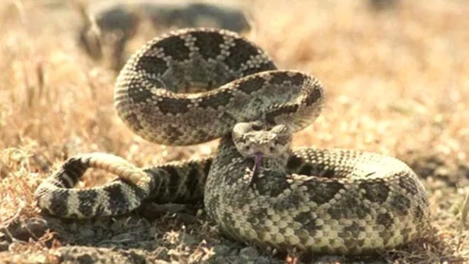 Rattlesnakes come out in warmer weather.