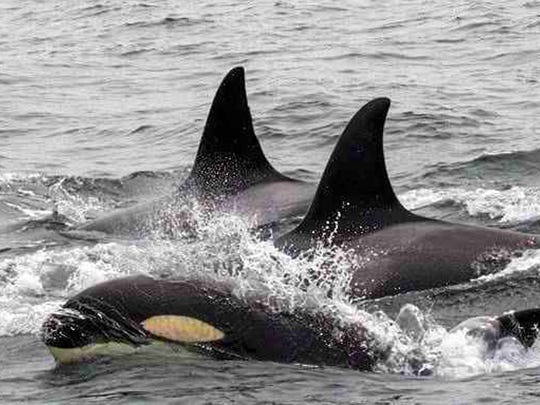 This Monday, April 24, 2017 photo provided by Monterey Bay Whale Watch shows a pod of orcas in Monterey Bay offshore of Monterey, Calif.