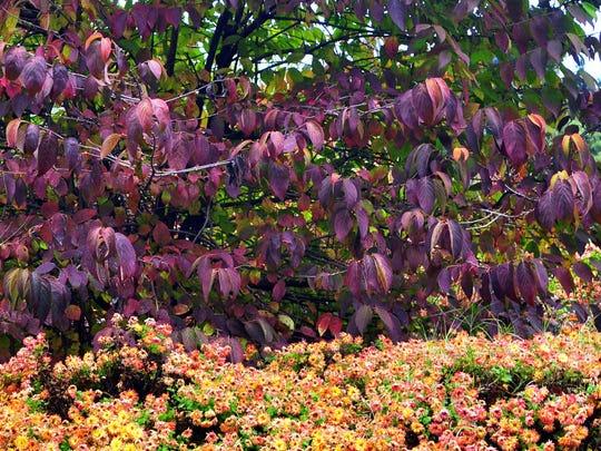 The doublefile viburnums provide rich fall hues, along