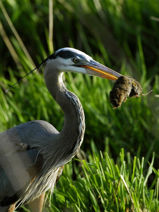 Great Blue Heron with a vole.
