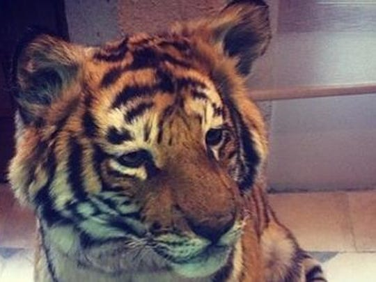 "Defensive tackle Darnell Dockett created a buzz this week during a local radio interview when he said he bought a young pet tiger named ""Little Buddy"" that he hopes to bring to training camp and to games."