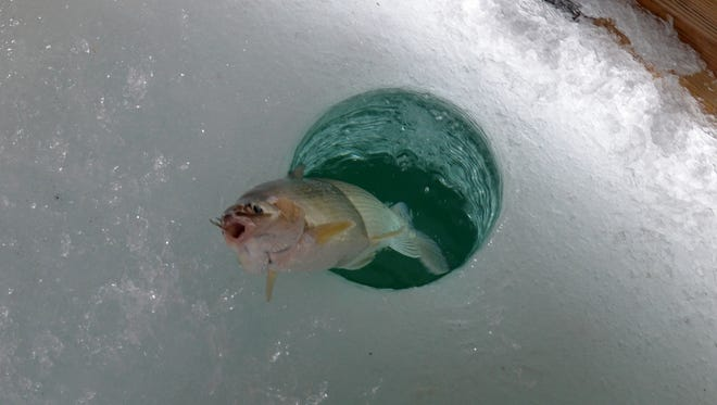 A whitefish slides onto the ice of Green Bay. The Wisconsin Department of Natural Resources is considering changes to commercial whitefish rules in Green Bay and Lake Michigan.