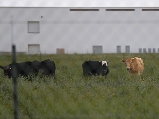 Cows sit outside the Hickman's Family Farms facility