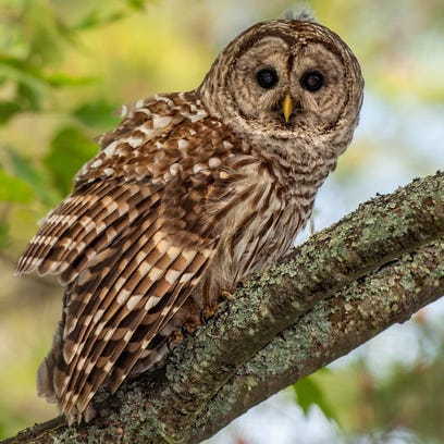 A pair of barred owls attacked turkey hunter Al Porter
