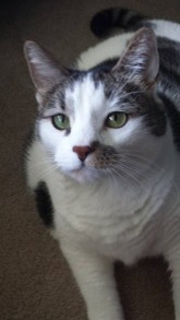 Susie Q was the only one of her cats that Laurie was able to rescue after Martin tossed them outside. She had been living at Laurie's apartment, and was adopted by Janet Sanderson of Dover Township.