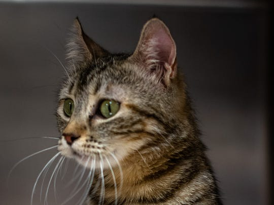 Acacia - Female (spayed) domestic shorthair, about