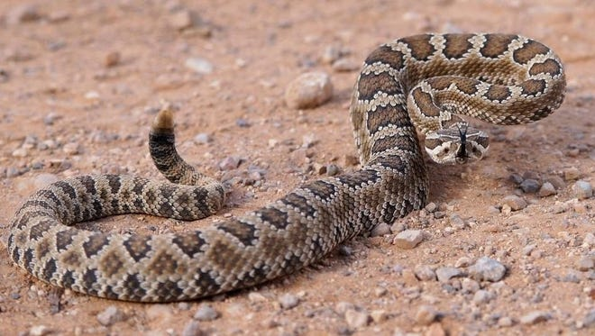Side-wind to Waurika for its 56th annual Fangtastic Rattlesnake Hunt this weekend.