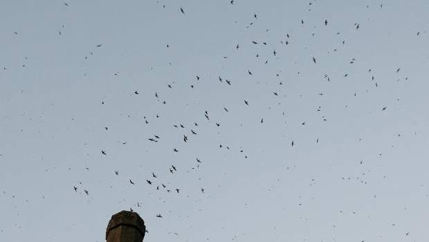 Vaux's swifts descend into the chimney stack at the Umpqua Valley Arts Center in Roseburg.