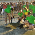 Photos: Mr. Merriam the turtle released