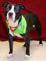 Atticus is a year and a half old Pit Bull who is a