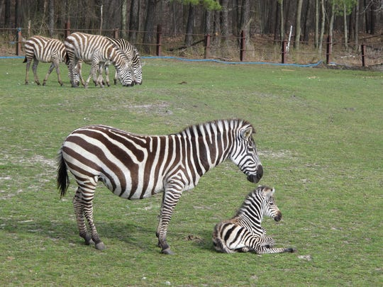 A baby zebra is shown at the Safari at Six Flags Great Adventure in Jackson Township Saturday, April 21, 2018.