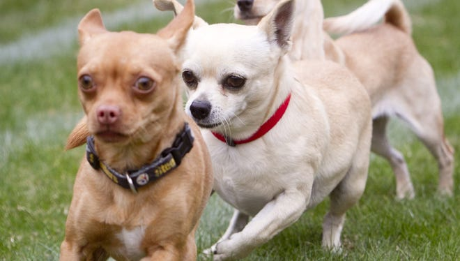 Chihuahuas race toward the finish line during last the Chihuahua Races in Buckeye.