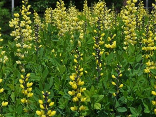 Baptisia Decadence® 'Lemon Meringue' (Lemon Meringue False Indigo) from Walter's Gardens/ Proven Winners – 2013 Perennial Top Performer.