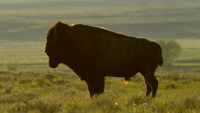 American Prairie Reserve has grown to 305,000 acres, including some 30,000 acres where 600 bison roam.