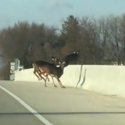 A herd of deer jumped the 80th Street SW bridge over