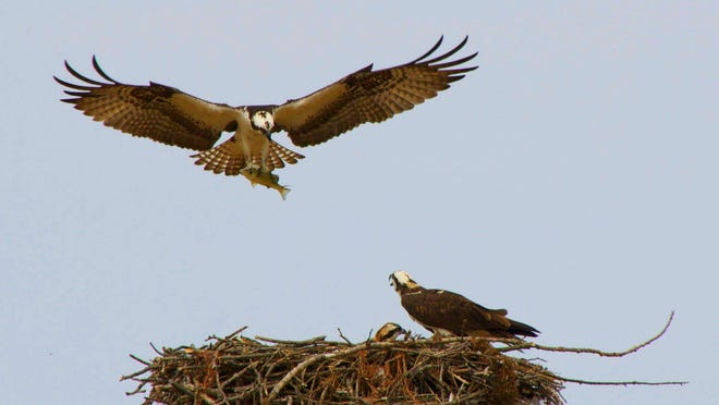An osprey brings dinner home to its nest.