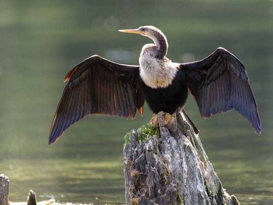An anhinga at Wakulla Springs State Park. High levels