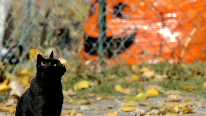 A black cats sits in a driveway and watches leaves fall from a cottonwood tree along Lower River Road near Great Falls. GFPD is seeking information on possible incidents of cats being shot with air guns.