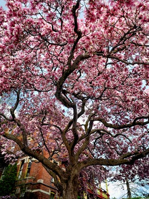 This historic magnolia tree, which is more than 150 years old, is the only remaining magnolia planted on Matthew Vassar's estate at the corner of Vassar Street and Main Street in Poughkeepsie, where the Cuneen-Hackett Arts Center is located. The arts center is hosting its 11th annual Magnolia Party fundraiser May 4.