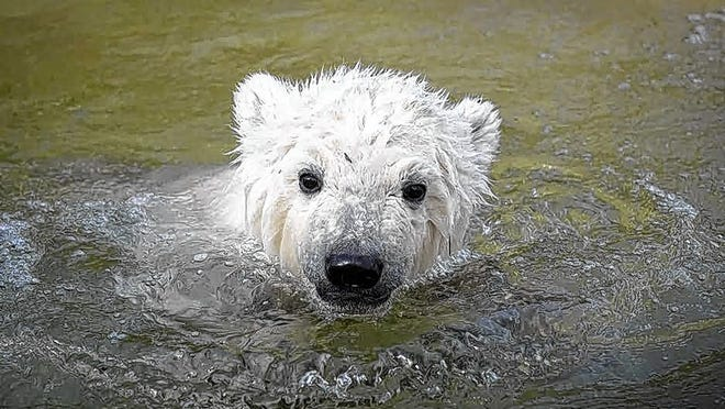 One of the zoo's polar bears peeks out of the water in its enclosure. Zookeepers say some of the animals are just as happy as the zoo's staff about the return of visitors.