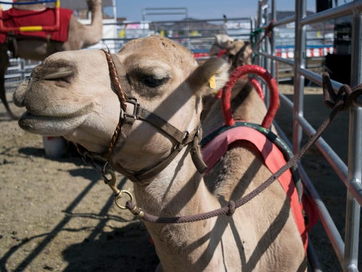 Guests come to see the famous Virginia City Camel Races,