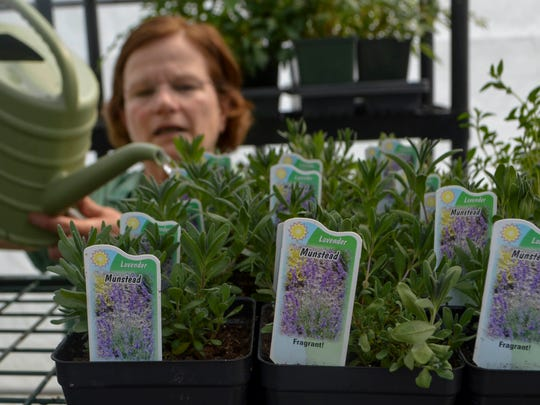Debbie Jacobs, a member of the Master Gardeners Plant Sale committee, waters a flat of lavender in one of the three larger greenhouses placed throughout the area in this file photo. The sale this year is Saturday.
