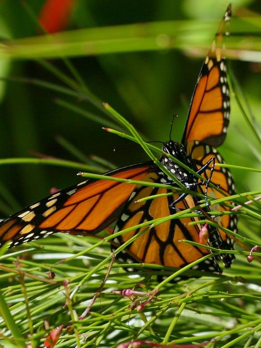 Monarch Madness 12