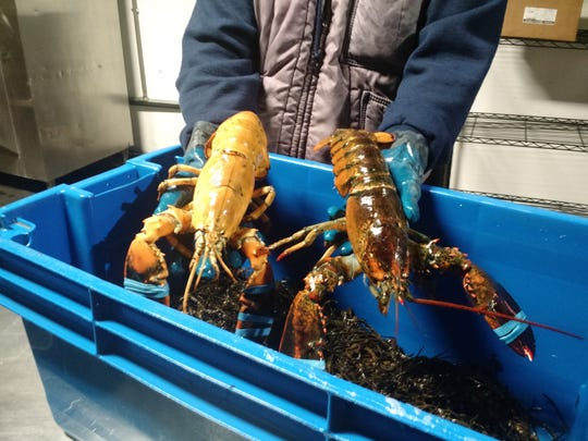 A Hy-Vee employee holds R.C. the orange lobster, left, and an average brown lobster at the company's perishable distribution center in Ankeny.