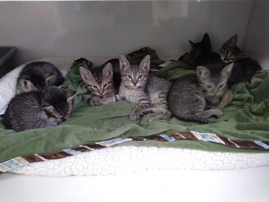 We tabby kittens are about four weeks old and getting