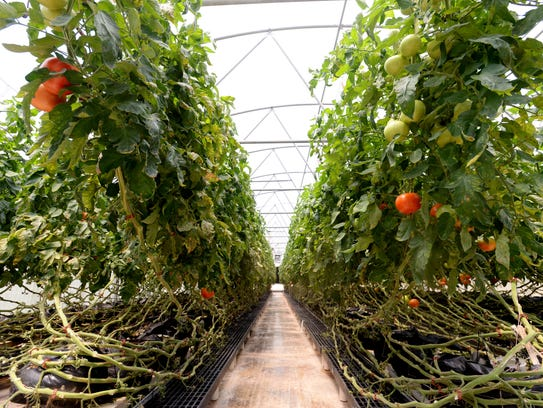 The LSU AgCenter in Bossier City grows tomatoes.