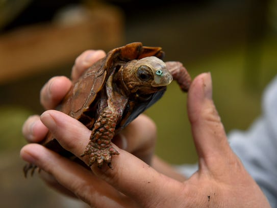 A black-breasted leaf turtle is being called Phantom