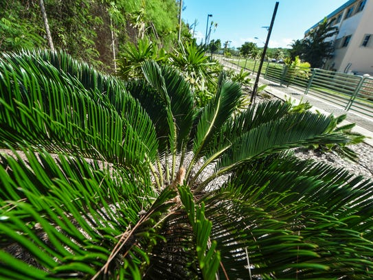 One of the many cycad plants that could found in the