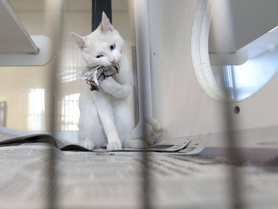 A cat at El Paso Animal Services tears up a paper ball